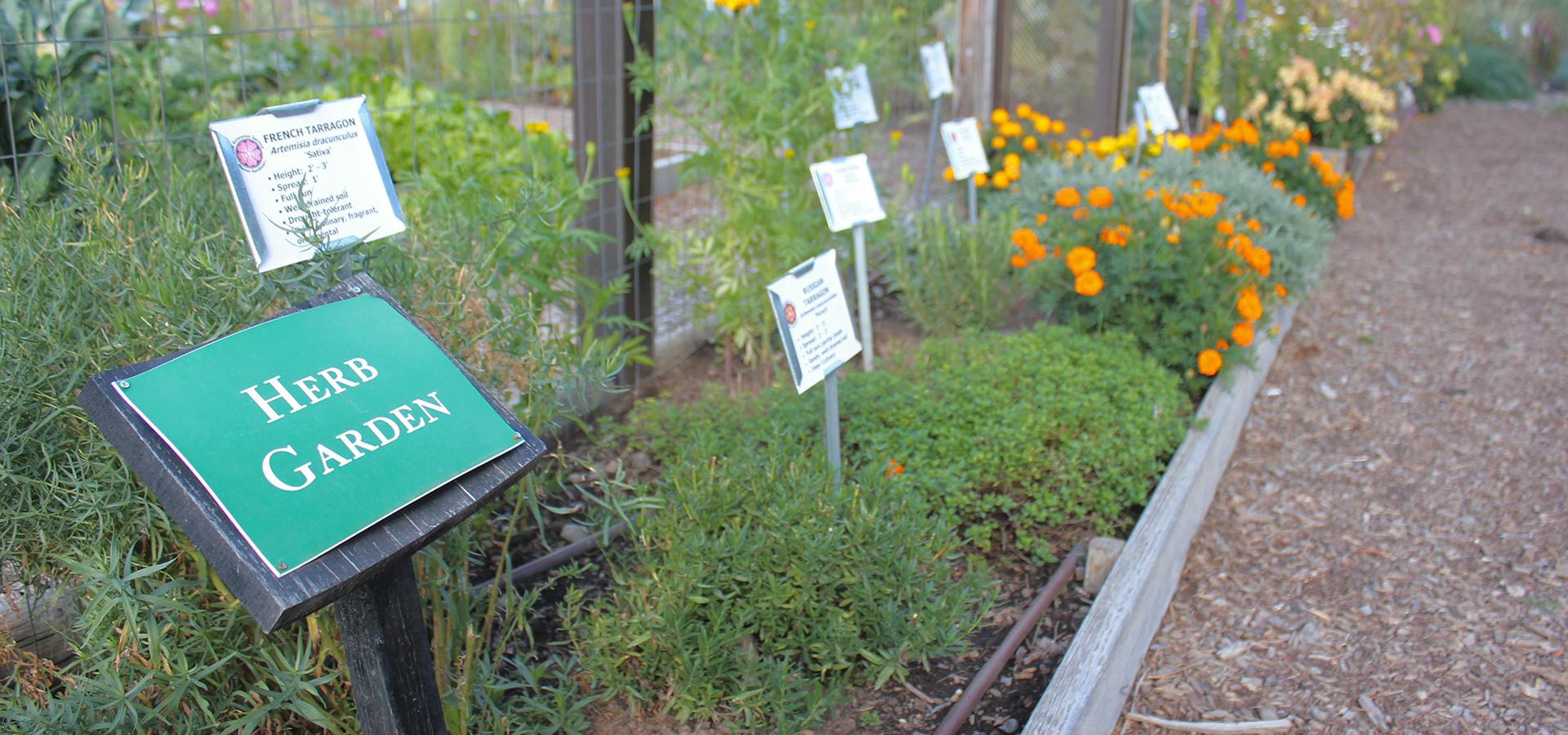 Hollinshead-Community-Garden-Herbs