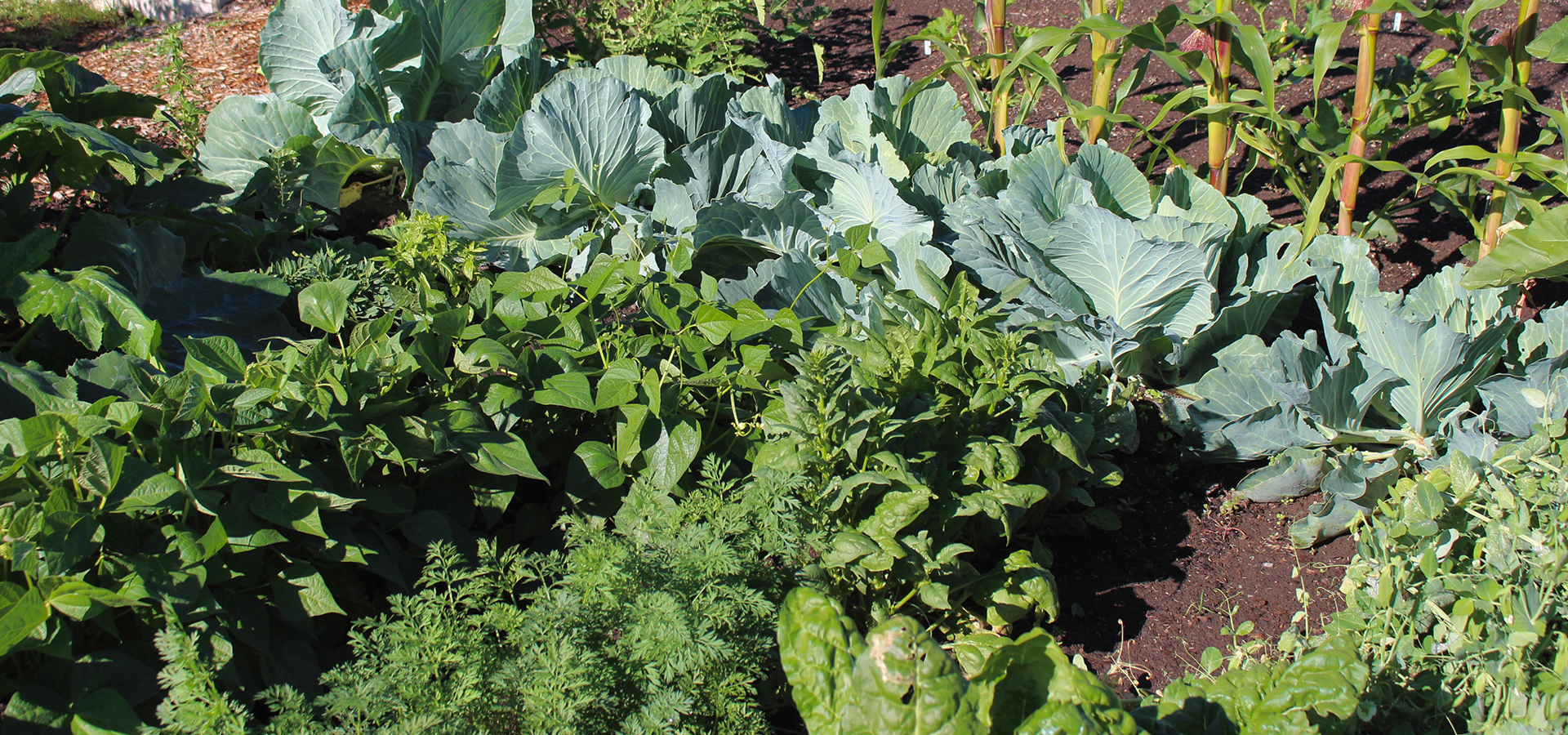 Hollinshead-Community-Garden-Leafy-Greens
