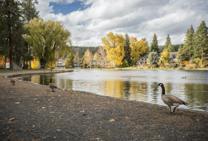 Bend Park and Recreation Geese Management at Drake Park
