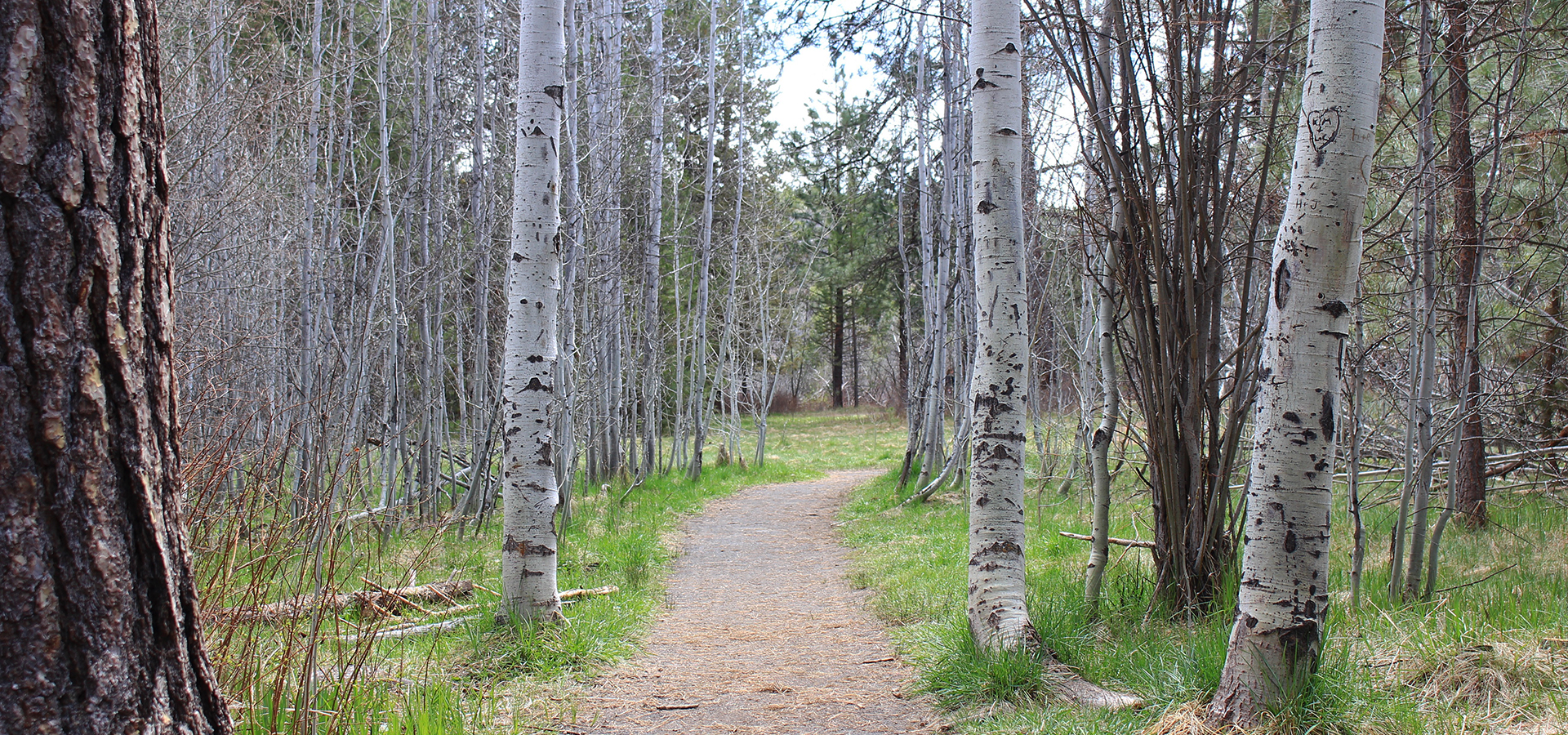 Image of a dirt portion of the Shevlin Park Trail running through an Aspen Grove in Shevlin Park.