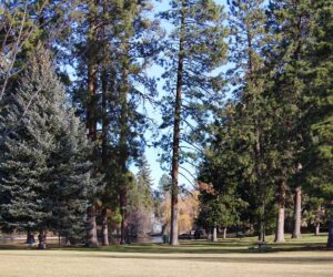 Tall trees in Drake Park
